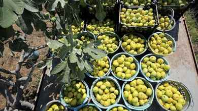 The target in the export of fresh figs is $75 million 8