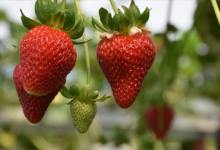 Trabzon aims to stand out in strawberry after its tea and hazelnut fame 11