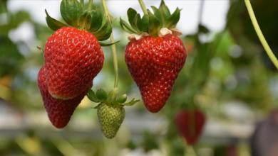 Trabzon aims to stand out in strawberry after its tea and hazelnut fame 8