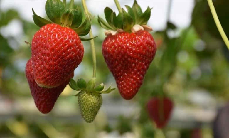 Trabzon aims to stand out in strawberry after its tea and hazelnut fame 1