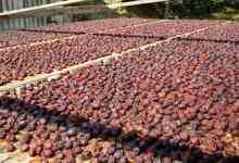 Kastamonu's Uryani Plum got registered with geographical indication 2