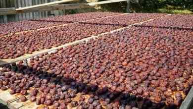 Kastamonu's Uryani Plum got registered with geographical indication 8