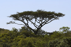 An umbrella acacia tree in Africa
