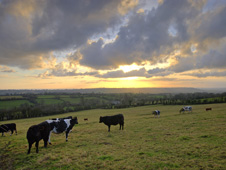 Cows in a field in Somerset