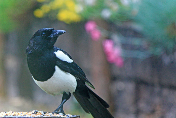 BBC - Nature UK: Springwatch investigates: The corvid cull