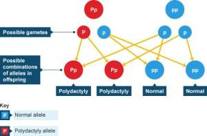BBC  GCSE Bitesize: Polydactyly