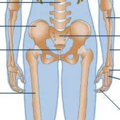 Human Skeleton And Muscles Diagram Featherlite Horse Trailer Wiring Bbc Science Nature Body Mind Anatomy Skeletal More Diagrams Front View Of Back Organs Nervous System