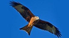 Red kite. Photo: Andrew Davies