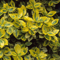 Image result for euonymus fortunei emerald n gold