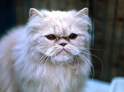 This cream long-haired cat at the National Cat Show in London looks ...