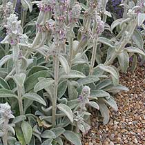 Bbc Gardening Plant Finder Lambs Ears