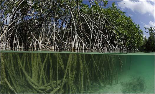 Manglar en Yucatán.