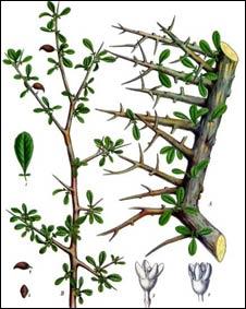 Commiphora myrrha, la planta de la mirra