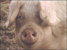 Porco (arquivo)