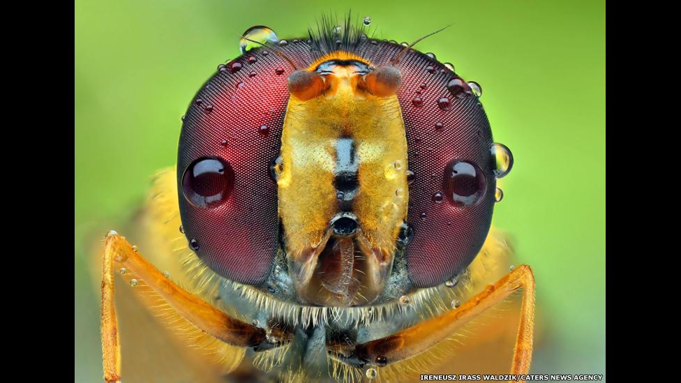 圖輯:黃蜂和蒼蠅眼睛的微距攝影 - BBC中文網 - 多媒體