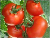 Estudo mostra que comer tomates protege a pele contra os raios maléficos do sol