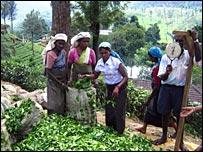 பாதிக்கப்பட்டிருக்கும் இலங்கை தேயிலைத்தொழில்