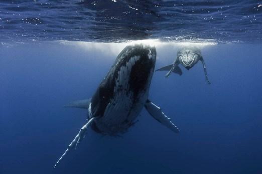 humpback whales blue marine foundation