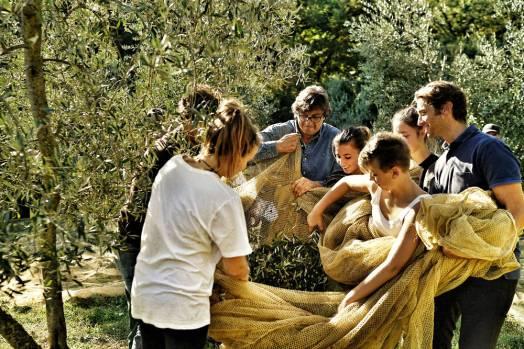 la vialla olive harvesting