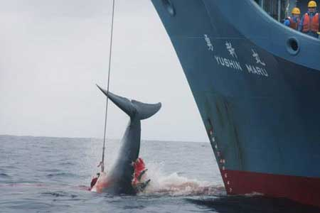 Loathsome Japanese poachers in the Great Southern Ocean killing whales within an international whale sanctuary.