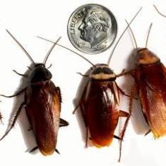 Hissing Cockroach Diagram 2004 Pontiac Grand Am Monsoon Stereo Wiring Roaches Npma | B & Pest Control