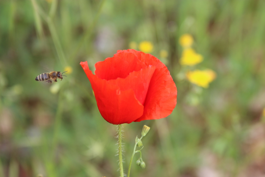 Rote Mohnblume