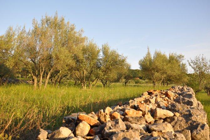 Wiese mit Olivenbäumen in der Abendsonne