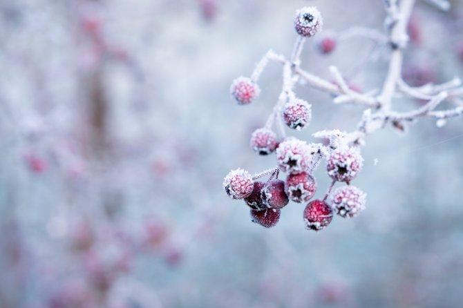 Frozen berries in winter