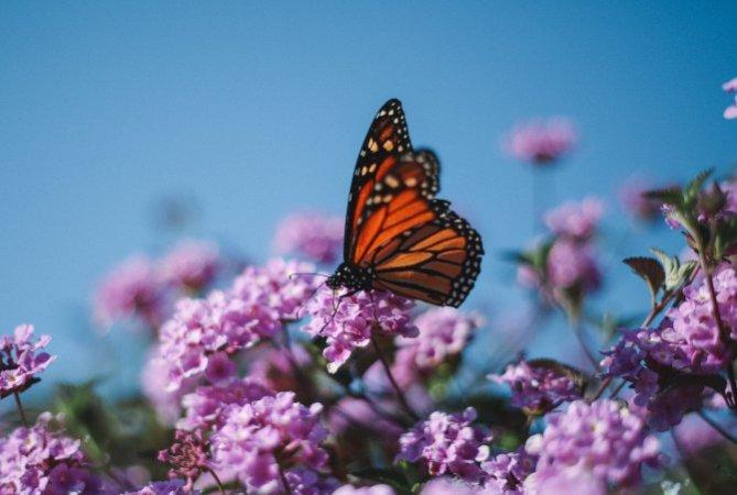 Schmetterling auf lila Blueten vor blauem Himmel