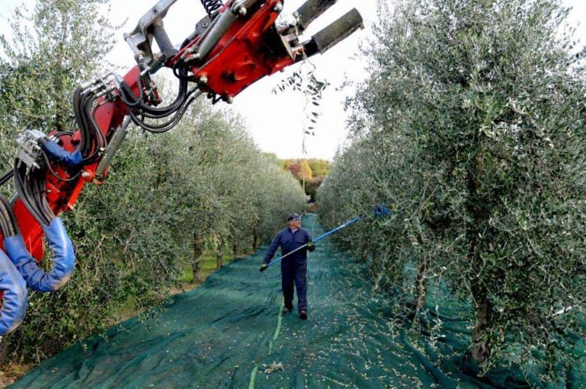 Raccolta olive sul lago di Garda