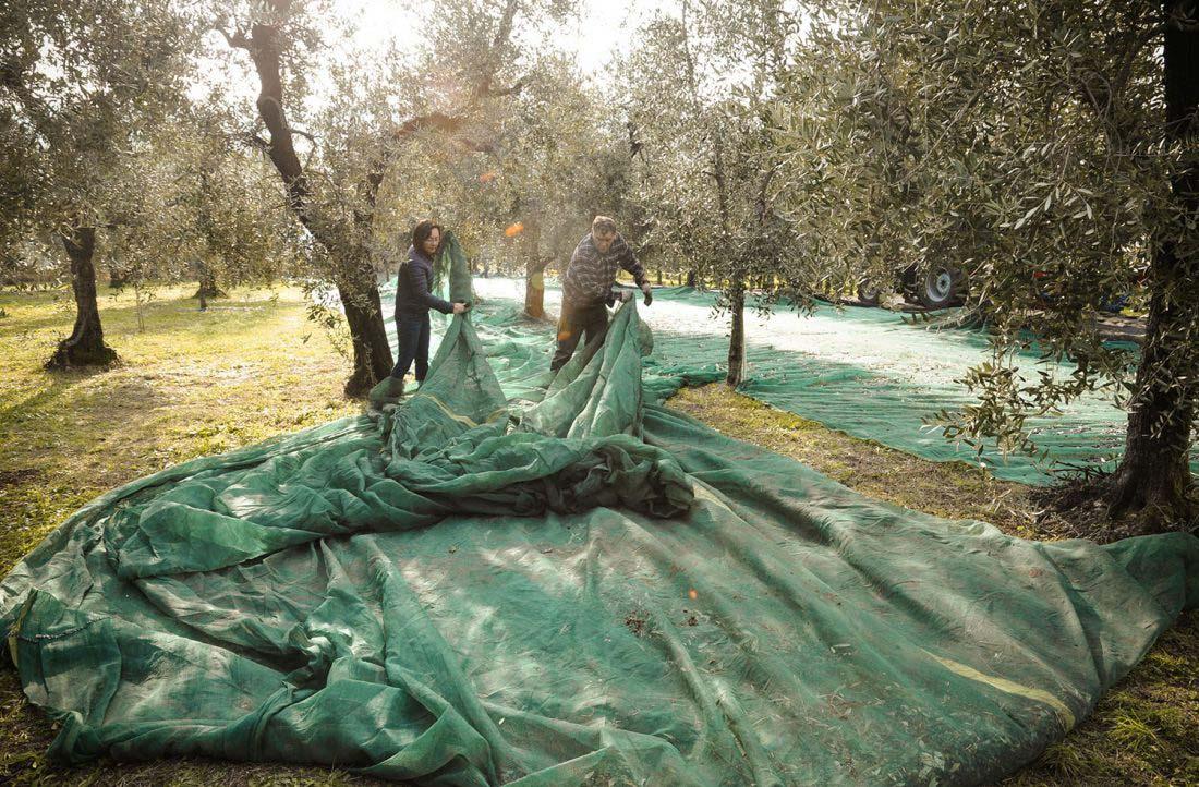 Stesura reti per raccolta olive negli uliveti della famiglia Rocca
