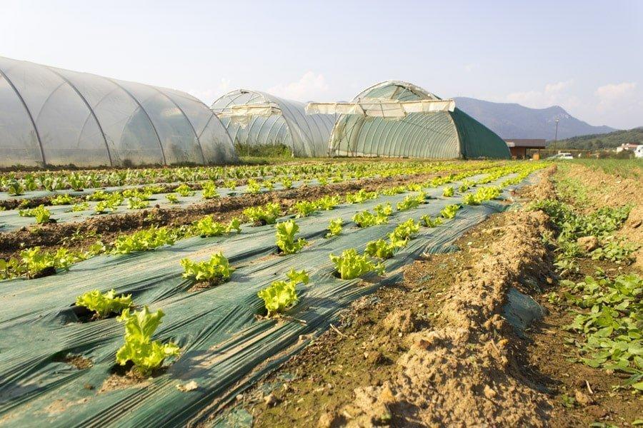 Insalata biologica Gavardo coltivata dall'orto di Domenico Osio
