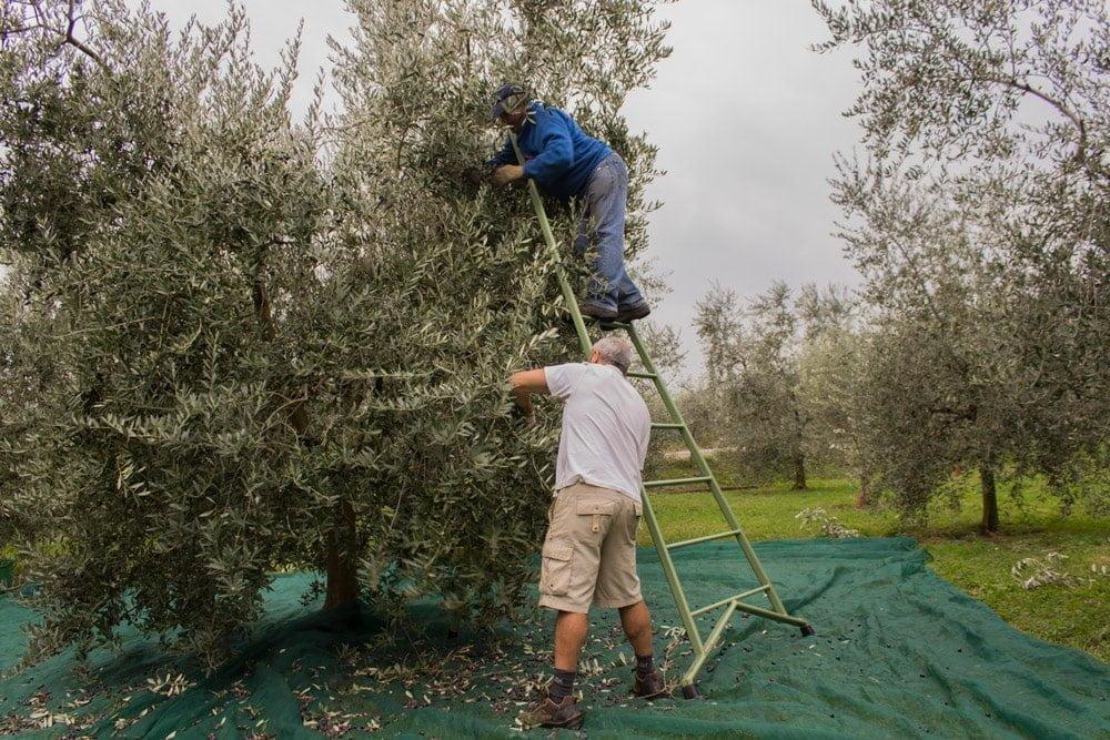 Valerio e il suo collega al lavoro mentre raccolgono le olive