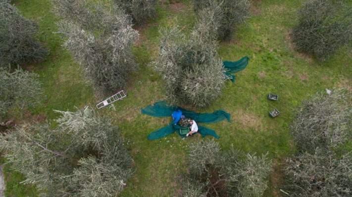 Foto dall'alto durante la raccolta delle olive nei campi dell'azienda agricola biologica Giacomini