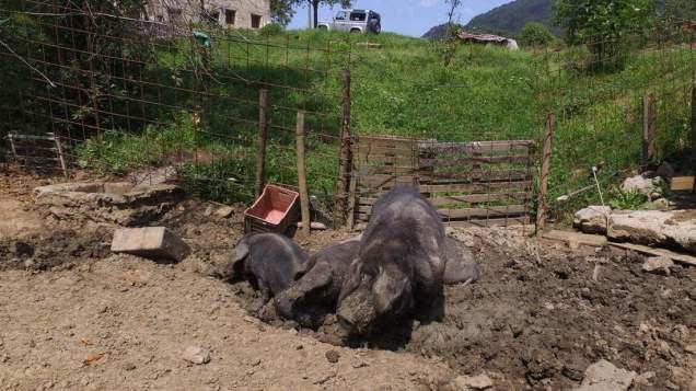 Suini Nera di Parma dell'azienda agricola Le Due Casine