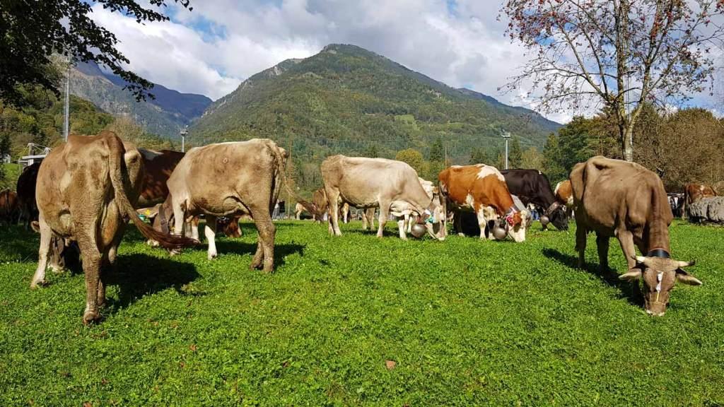 Mucche a riposo in pineta a Bagolino dopo la sfilata