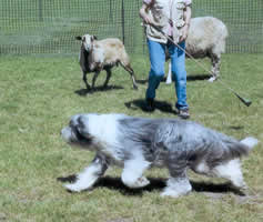 Blueberry herding after ACL repair and rehabilitation