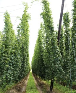 row of hops on hop farm