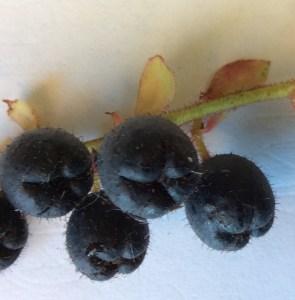 Salal berries closeup