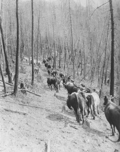 Beef for the colony of BC arrived via the Brigade Trail