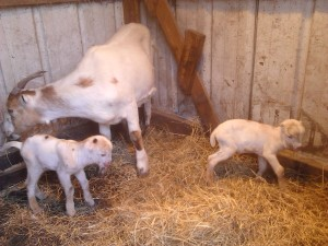 LaMancha Dairy Goat Twins