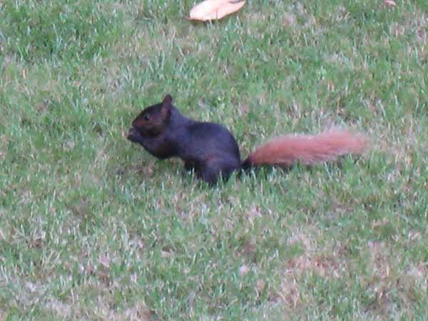 018Criitter-Corner-Squirrel