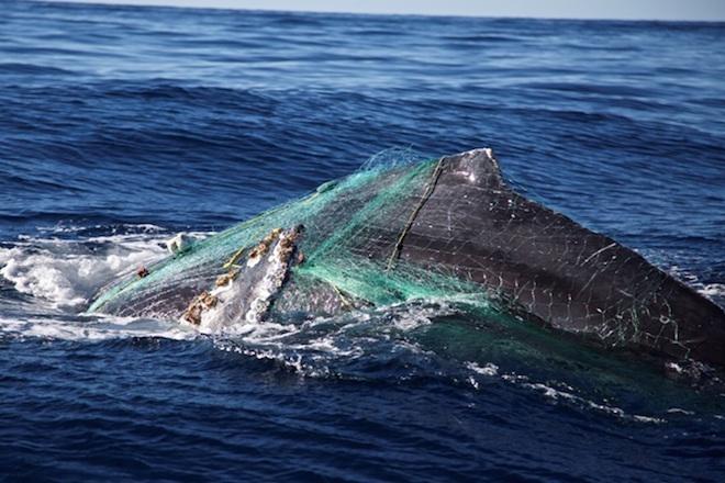 ballena enmallada los cabos 2