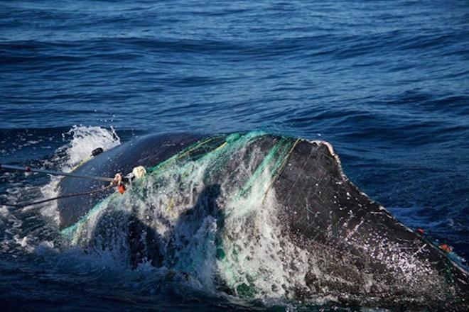 ballena enmallada los cabos 3