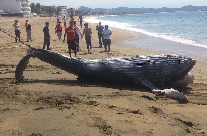 ballena varamiento
