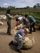 sheep sheering - 1