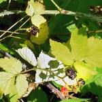 Raspberries at Beacon Springs