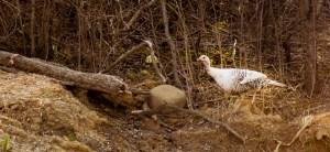 turkey outside farm office door