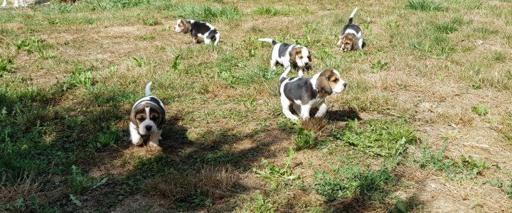 cuccioli Beagle di nonna Filomena