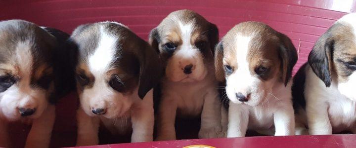 Cuccioli Beagle, in consegna per il 17/11/2019